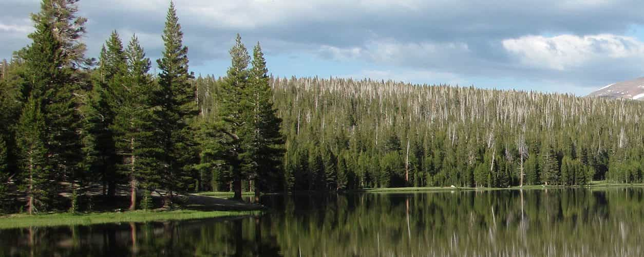 Pine trees near water